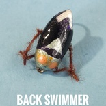 Back Swimmer by Alan Hobson, Wild Fly Fishing in the Karoo