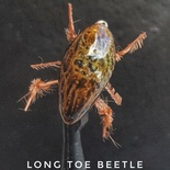Long Toe Beetle by Alan Hobson, Wild Fly Fishing in the Karoo