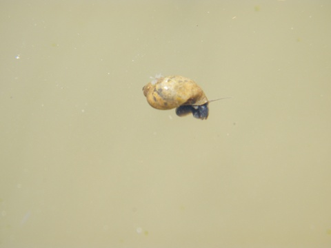 Aquatic snail
